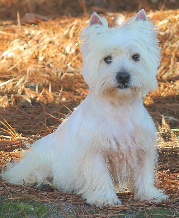 Arrowhead Acres Available and Upcoming Westie Litters