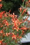 Wright's Texas Firecracker for sale buy Anisacanthus wrightii