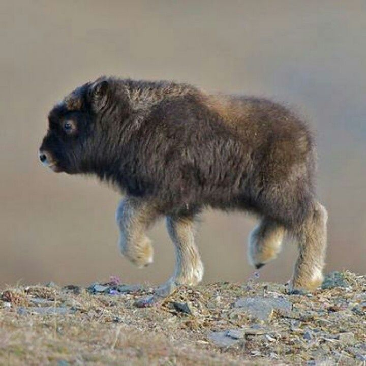 Image result for here's a picture of a baby musk ox