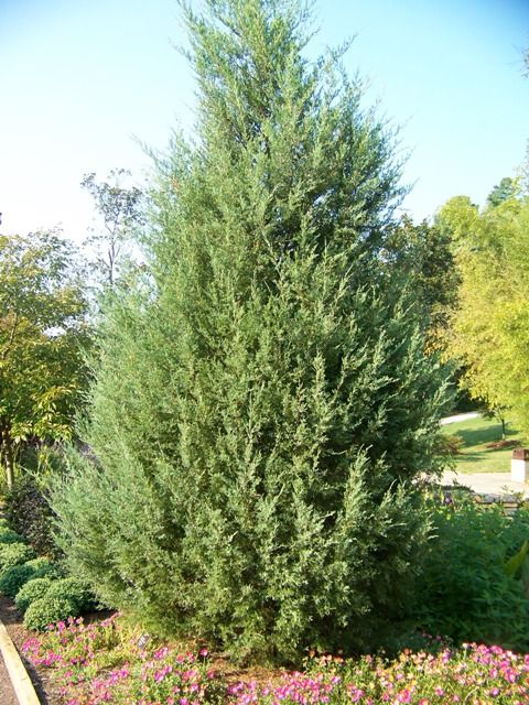 Red Cedar Hedge ~ Best images about juniperus virginiana on pinterest