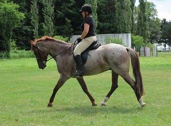 Indie: versatile, talented, and fun 12 year old gelding, 15.1 H.H, Welsh Cob/Tb/HanoverianBeautiful Strawberry RoanIndie is an amazi