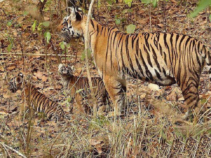 Pilibhit Tiger Reserve - in Uttar Pradesh, India