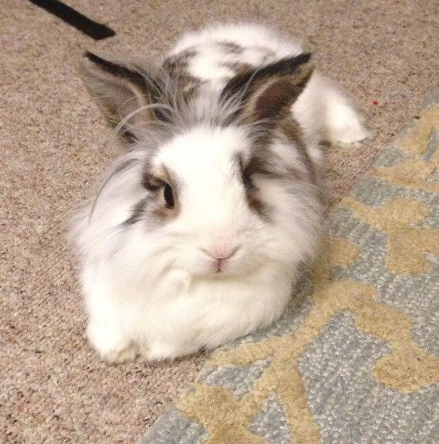 Lionhead Rabbit Facts and info, how to handle them, where they come from, how long they live, how large they grow, and much more.