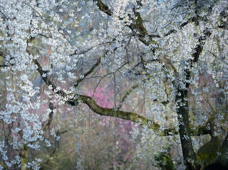 Fotografia di Yukio Miki  Un albero di ciliegio fiorisce nei giardini del Palazzo Imperiale di Kyoto, in Giappone.