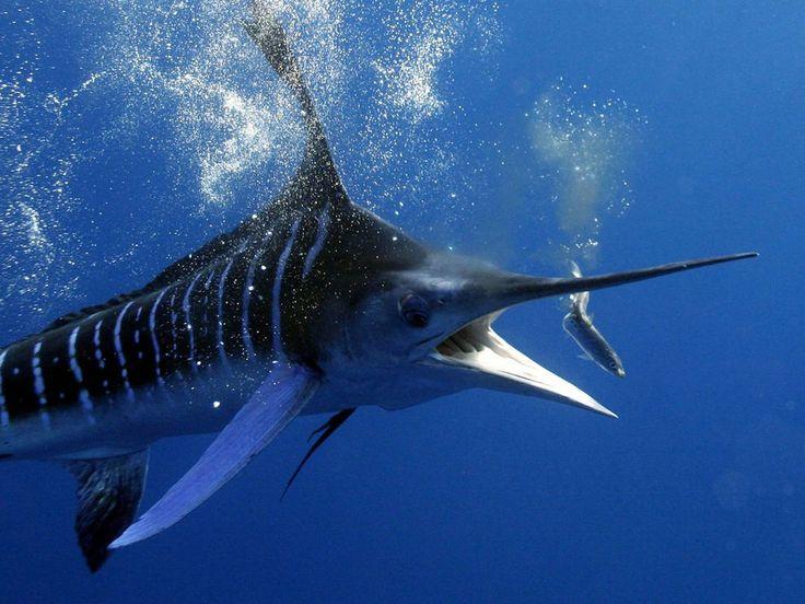 Blue Marlin fishing in Madagascar.