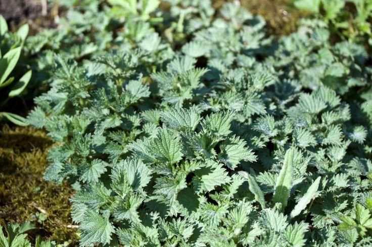 Nokkosia on useita eri lajeja, mutta kaikki samaan tapaan käytettävissä lääkinnällisesti ja ruokakäytössä. Nokkonen (Urtica dioica), pohjannokkonen(Urtica dioica subsp. sondenii) jarautanokkonen…