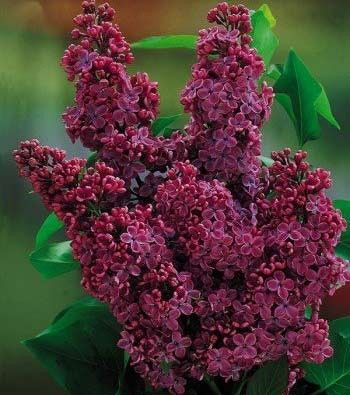 Lilac Congo Name Syringa Congo Growing Conditions Full
