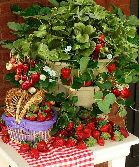 Strawberry plants online!