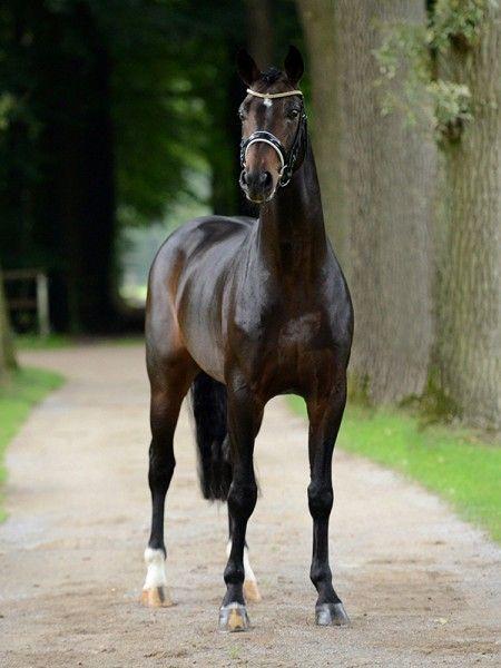 Belconi 「Belissimo M x Rosi」 Hanoverian Stallion