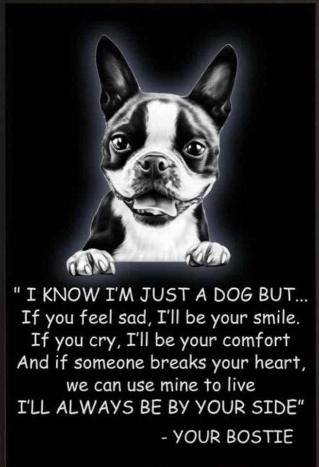 Boston Terrier Friendly And Bright With Images Boston