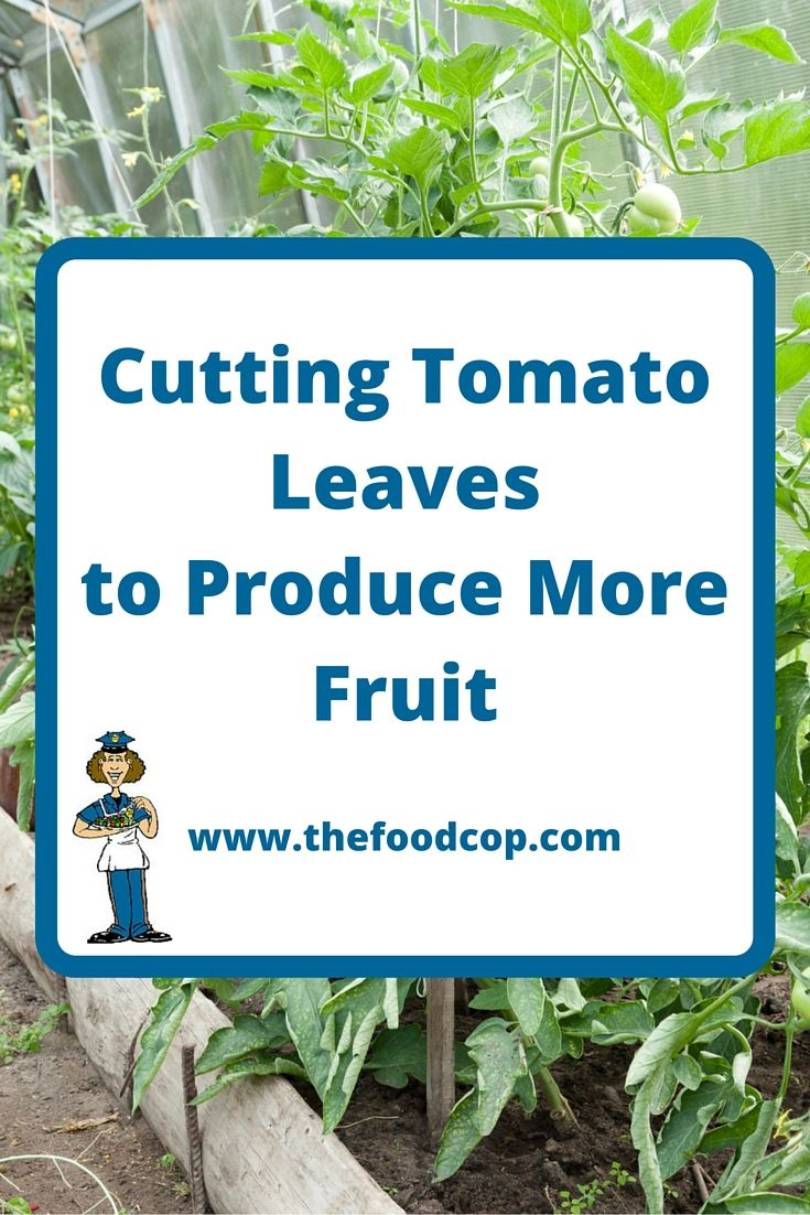 Cutting Tomato Leaves To Produce More Fruit