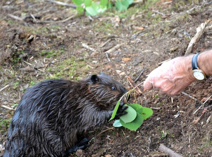 Marion McMurray et un bébé castor