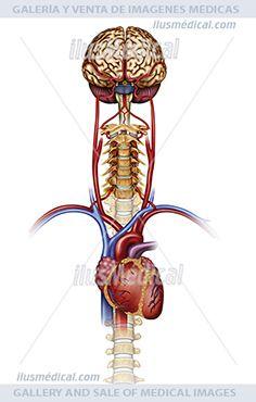 Flujo sanguíneo cerebral y cervical. En esta ilustración podemos ver el cerebro, vertebras ...