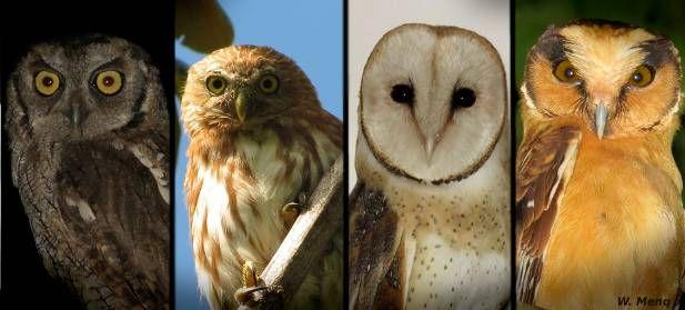 Aves de Rapina BR   Corujas brasileiras