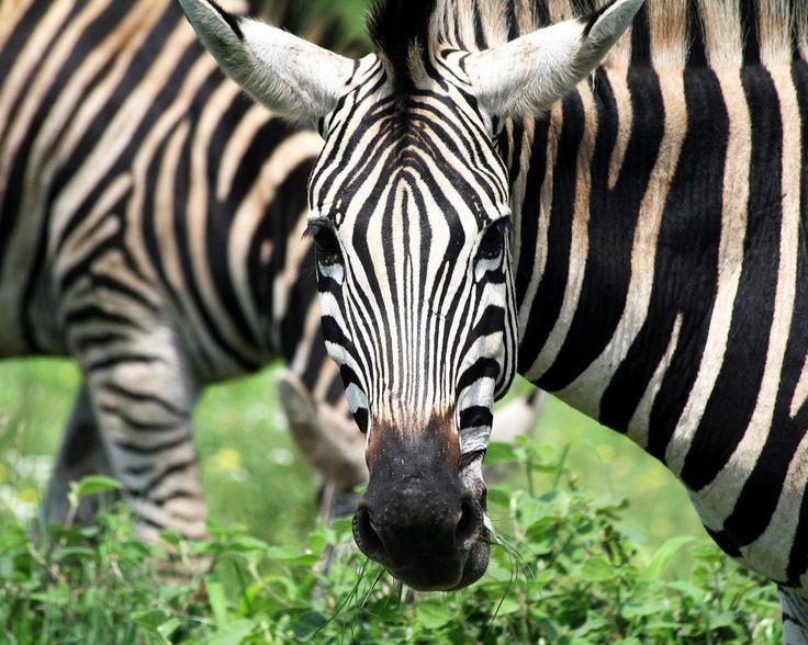 Zèbres dans le Kruger, South…