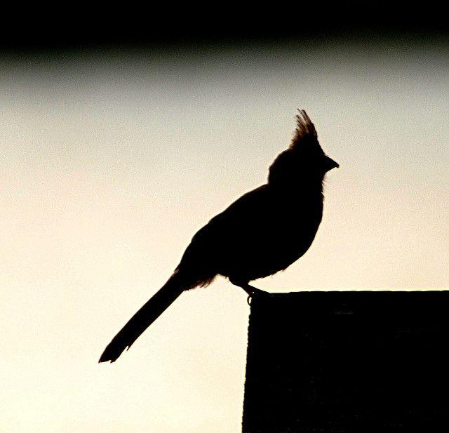 Cardinal Silhouette~cl | Cardinal birds, World birds, Bird ...  |Cardinal Silhouette Tattoo