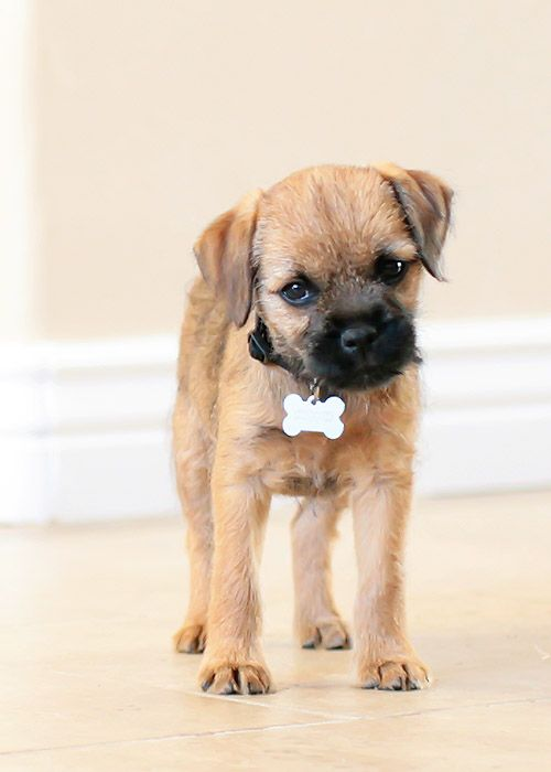 Border Terrier Puppy - looks like Banjo when he was smaller.  They're getting so big already!