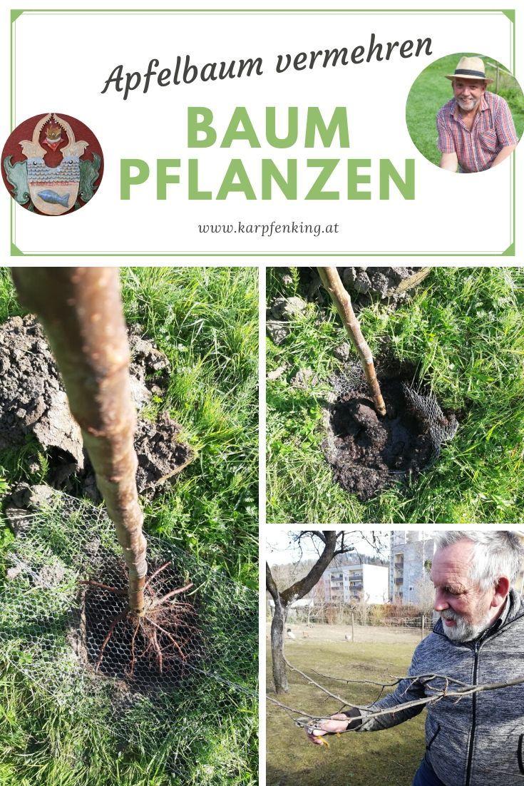 Obstbäume pflanzen – Apfelbäume vermehren und Äpfel bestimmen – weiß um einen Wiesenobstgarten    – Teichanlage & Streuobstwiese