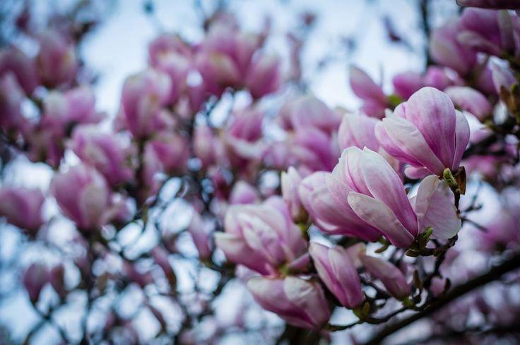 Wiosna już jest :) i jest pięknie :) #nature #natural #naturephoto #naturephotographer #naturelovers #flowers #spring #tree #beautiful