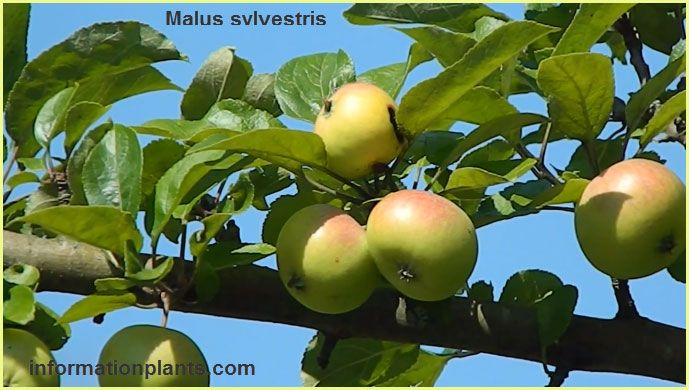 انواع التفاح Malus قوائم النبات قوائم النبات معلومان عامه معلوماتية نبات حيوان اسماك فوائد Apple Fruit Food