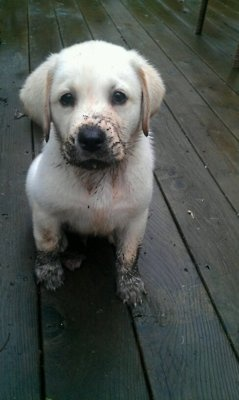 awwww!Little Puppies, Cutest Dogs, Puppies Dogs Eye, Puppies Eye, Labrador Puppies, Muddy Puppies, Labs Puppies, Bath Time, Puppies Face