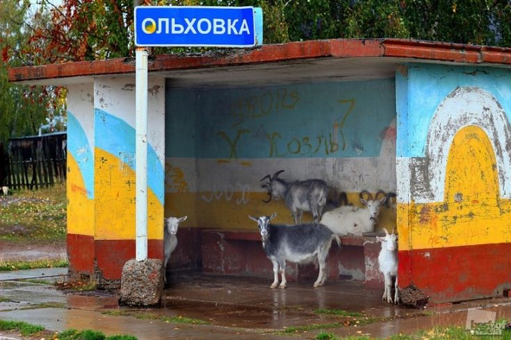 goats waiting for the bus in Perm, Russia #goats #russia #busstop