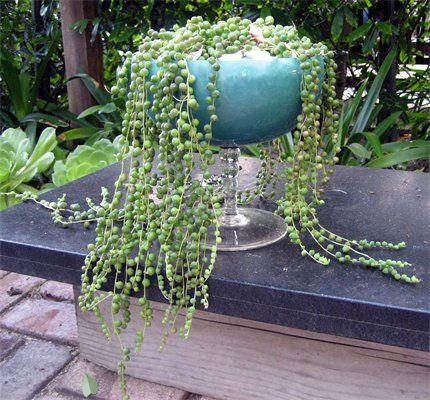 Perlenschnur, hängendes Kreuzkraut, Erbsenpflanze, Senecio herreanus,  giftig, nicht winterhart