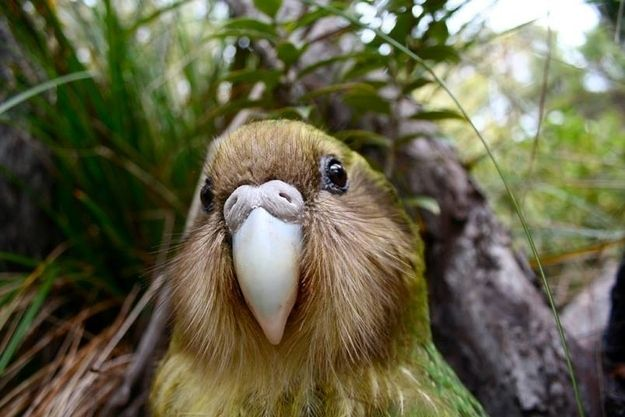 They have a subsonic mating boom that can travel several kilometres: LISTEN. | 23 Things You Didn't Know About The Flightless Parrot Facing Extinction