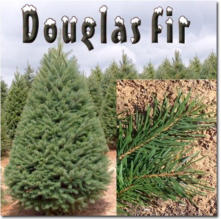 7 best Noble Fir Christmas Trees images on Pinterest | Firs ...