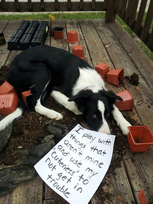 """I play with things that aren't mine and use my """"cuteness"""" to not get in trouble. Dog-shaming.com...too funny."""
