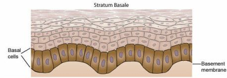 The stratum basale is the deepest layer of the epidermis, resting on the basement membrane. It is a single celled epithelium with cuboidal/low columnar stem cells and keratinocytes and scattered melanocytes and tactile (Merkel) cells. The keratinocytes produce a tough protein keratin which functions in the skin's resistance to trauma. The melanocytes synthesize a pigment melanin that protects the DNA exposed from the high activity of mitosis in this layer from UV radiation.