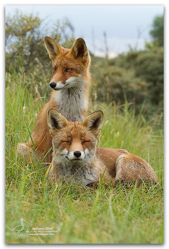 Red Foxes  What does the Fox say????