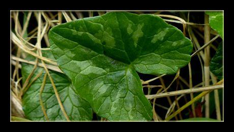 """Untișorul (Ranunculus ficaria) este o """"buruiană"""" comestibilă, erbacee și perenă, din familia Ranunculaceae-lor, nativă de pe întreg teritoriul Europei și al Asiei de Vest. Frunzele sunt foarte bogate în vitamina C și potasiu, fiind folosite ca legumă verde în salatele..."""