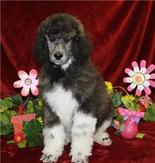 Name: Kingston Birthday: 12/5/2013 Sex:Male Description: Patches-Caspian Black & White Brindle Parti Standard #Poodle for Sale Excellent markings great personality Call for Price Ready Now http://www.renownedpoodles.com/