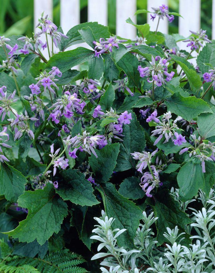 Clematis heracleifolia u0027New Loveu0027 flowers plants Pinterest