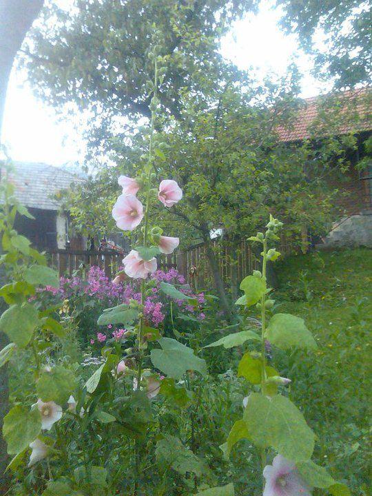 hollyhock- Althaea rosea
