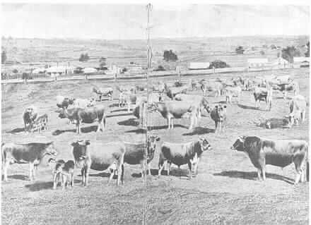 MP 1248. William Woodmason's Jersey herd  on land in Malvern Road and along Gardiners Creek at East Malvern; c.1870s.