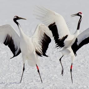 Red-crowned cranes-- http://birdnote.org/show/red-crowned-cranes-dance-hokkaido