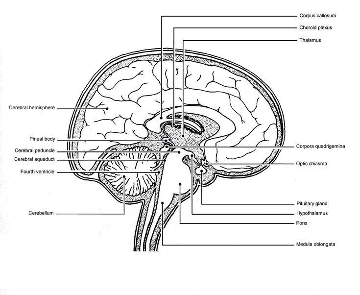 Sagittal View Of Human Brain Labeled Sagittal View Of ...