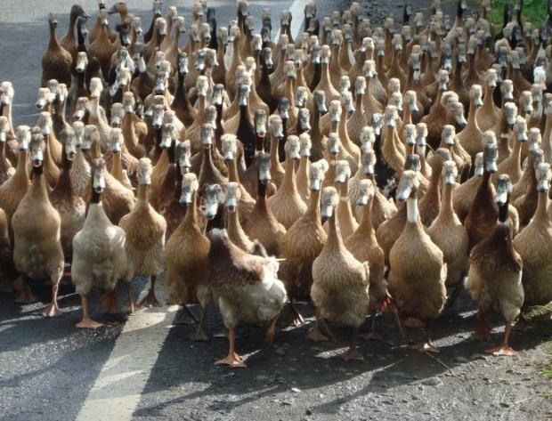 Duck invasion Ubud/Bali