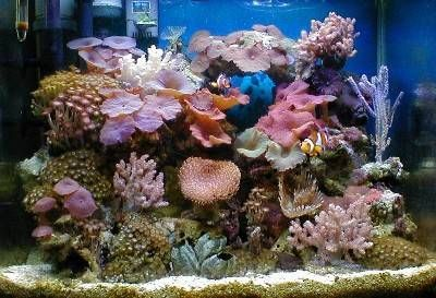 Anthony Miralles' photo of his 18g Reef Tank won 1st Place in the September 2004 About Saltwater Aquariums Reef Tank Photo Contest. Anthony's tank contains an incredible variety of Mushroom and soft corals, plus his mated pair of Percula Clownfish.