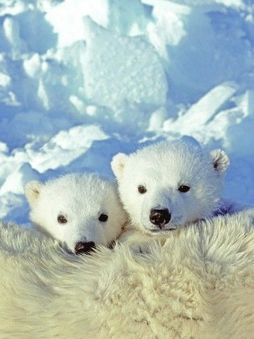 Twin Polar Bear cubs resting on their mother's back