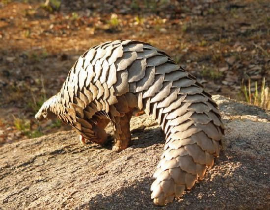 Pangolin is a different type of animal and an amazing animal, find out here all interesting facts about Pangolin with new Pangolin pictures-photos.