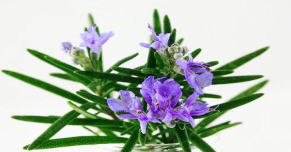 Su aroma es fuerte, muy agradable y particular. Es una hierba muy especial y con múltiples beneficios para la salud. Anuncio Un estudio de la Universidad de Northumbria, de New-Castle en el Reino Unido, descubrió que oler romero aumenta la memoria en un 60 a 75%. Esto quiere decir que atraería los recuerdos de antaño …