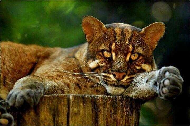 Beautiful Big Cat!   Cats... big/wild cats   Pinterest - photo#34