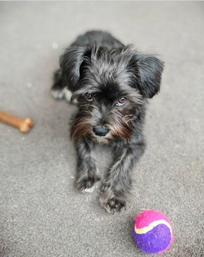 Miniature Schnau Tzu Shih Tzu Dog Mixes Girl And Dog