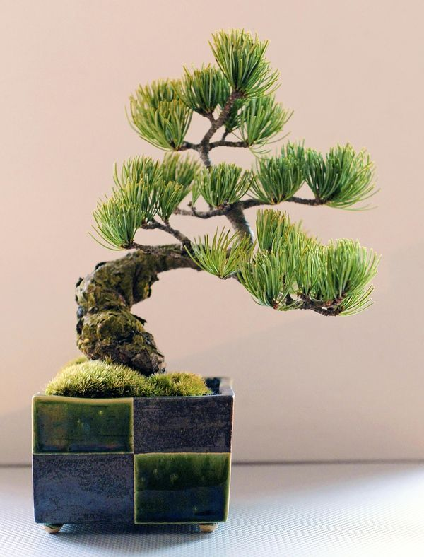 The Yomiuri Shimbun--Mini bonsai of a goyomatsu pine has a great presence. It looks good in a contemporary pot. They are easy to care for, require minimal space and can be a refreshing room ornament. Even beginners can enjoy them. For these reasons, it's natural that small bonsai trees and kokedama moss balls are very popular.