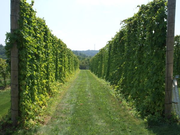 Hopyard Business Planning & Hop Trellis Design