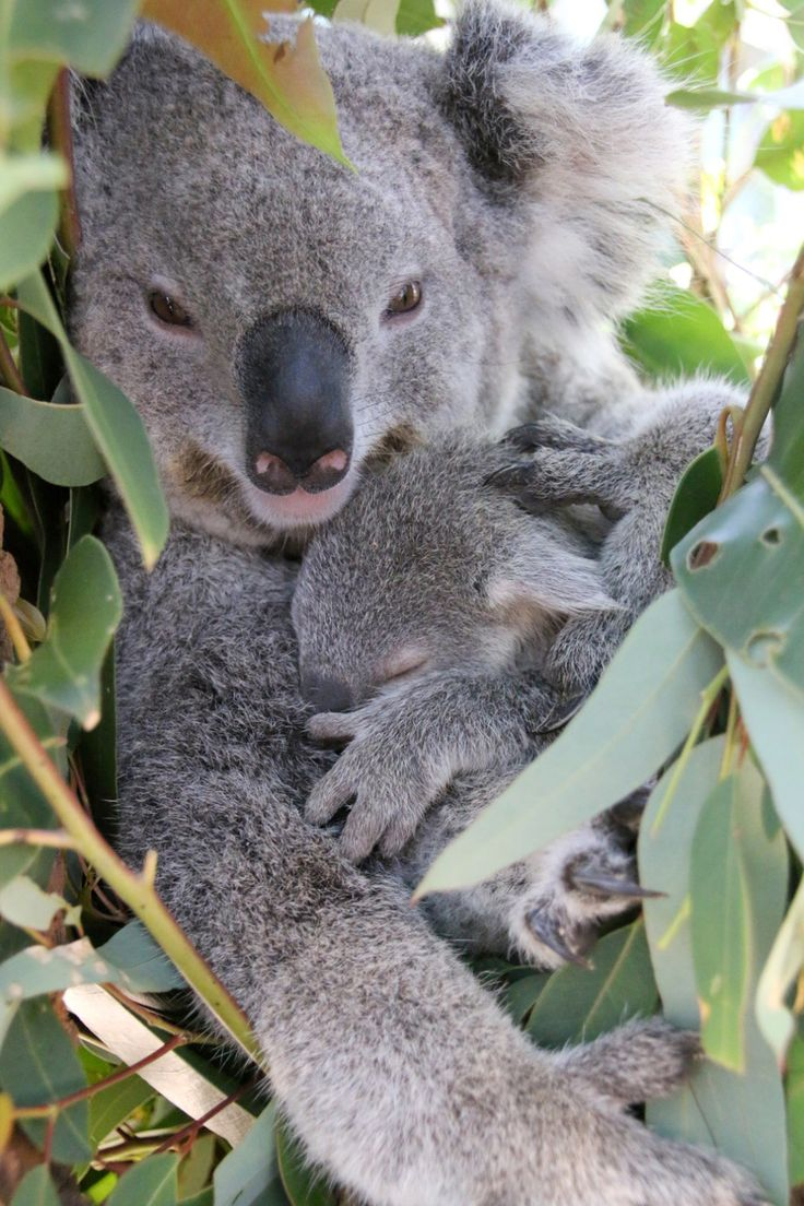"""He's still climbing back into the pouch occasionally, but it's a tight squeeze and his arms or legs are often sticking out. By New Year's Eve I don't think he'll fit back in."" 