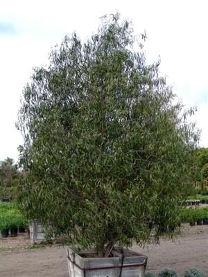 Australian willow - Geijera parviflora - recommended tree for near pool area in back corner to create privacy